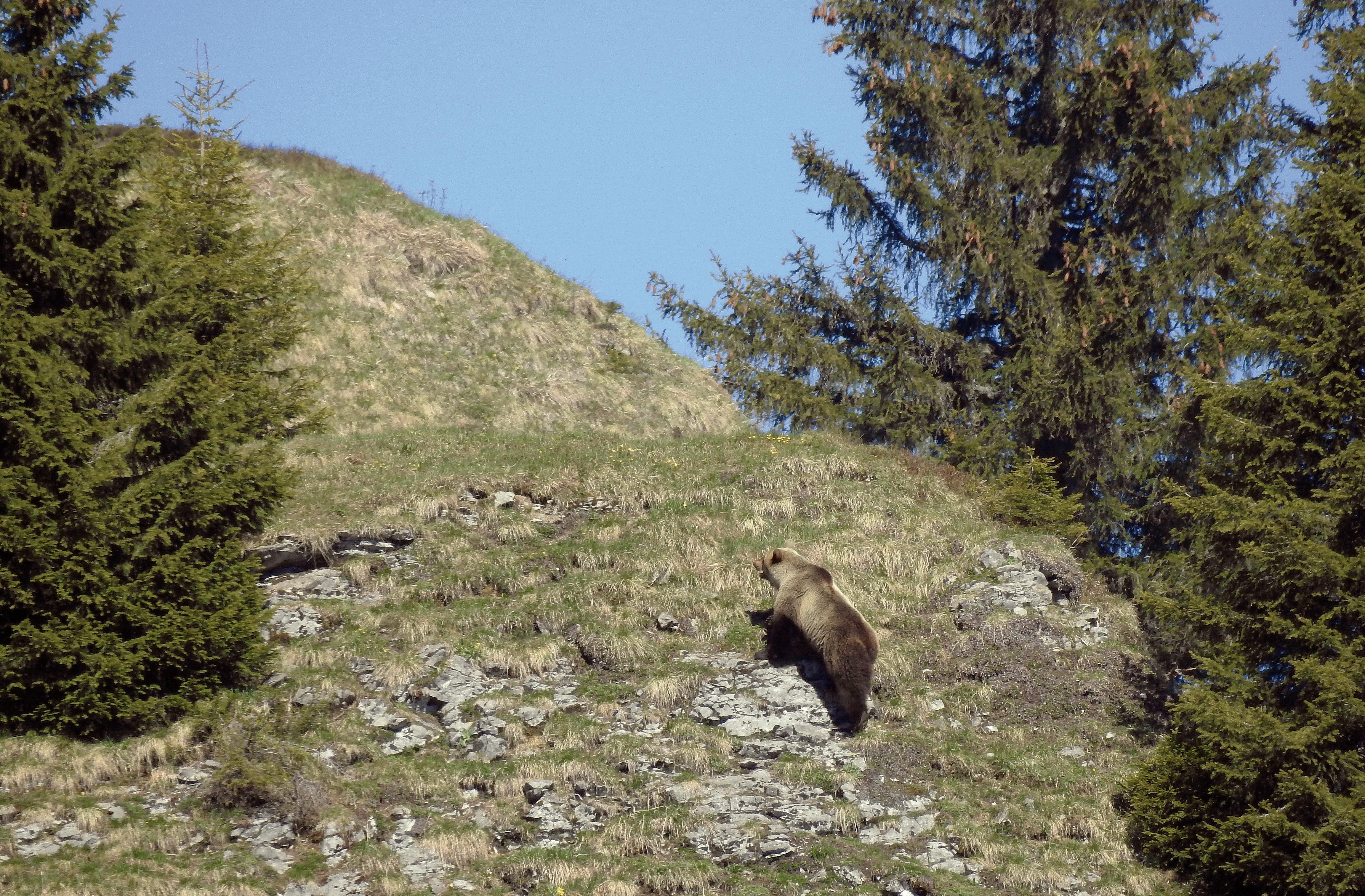 Le retour inattendu des ours des les Alpes suisses