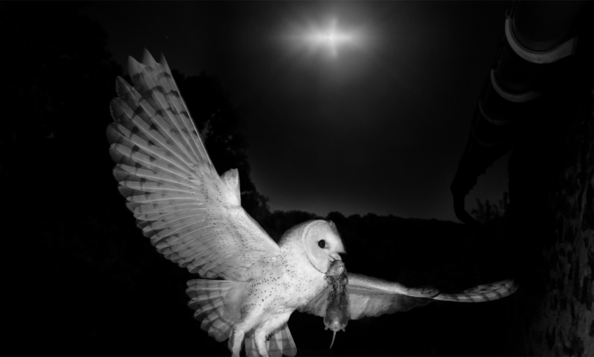 Comment la chouette effraie chasse-t-elle les nuits sans lune?