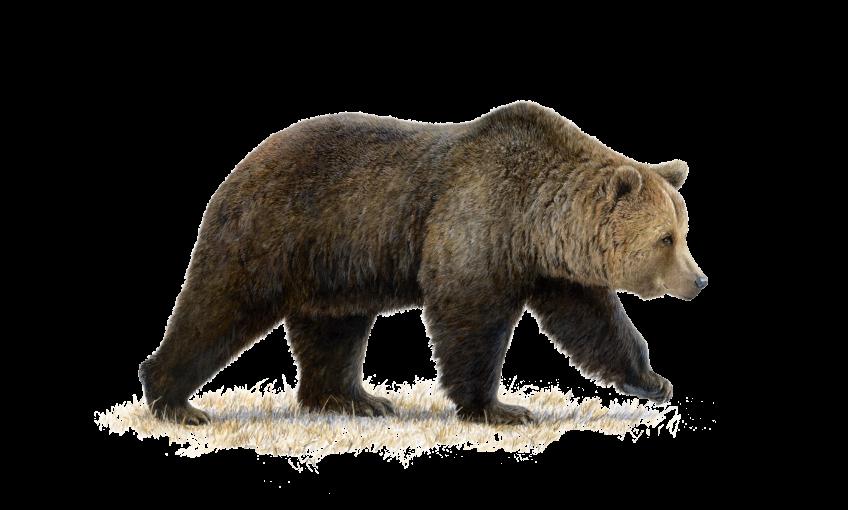 Dessin hyper réaliste d'ours