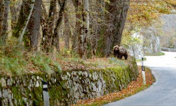 Ours en bord de route