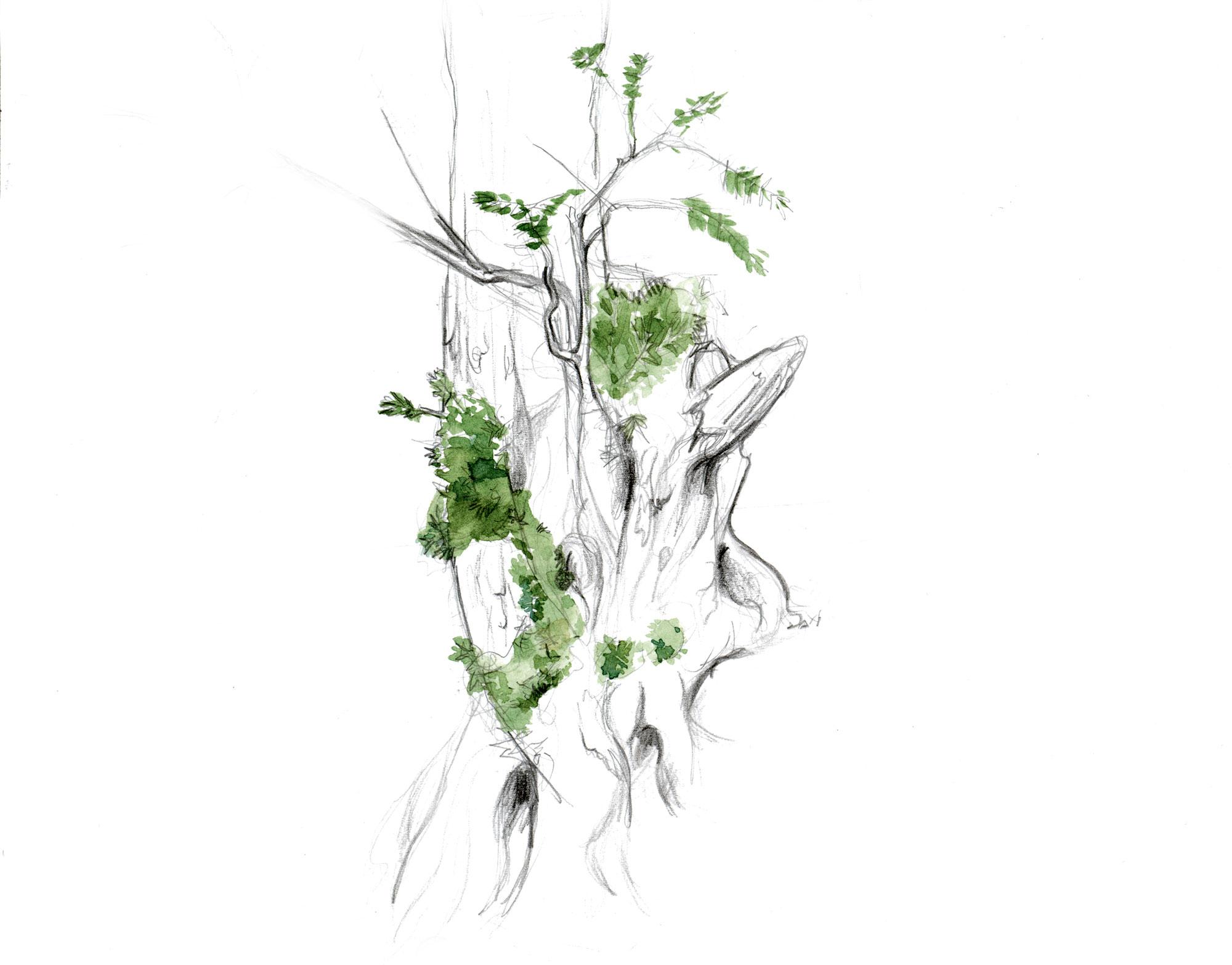 L'if, un arbre toxique à la longévité exceptionnelle