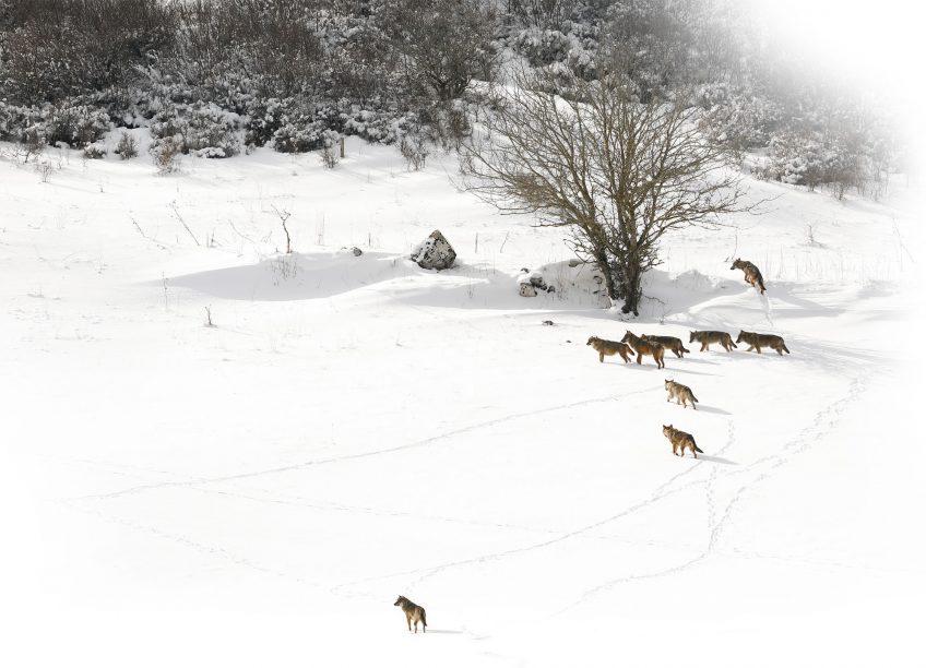 Le rewilding avec les retours du loups du lynx et du chacal doré en Europe