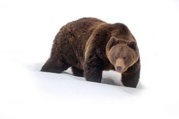 Les terres de l'ours - #1