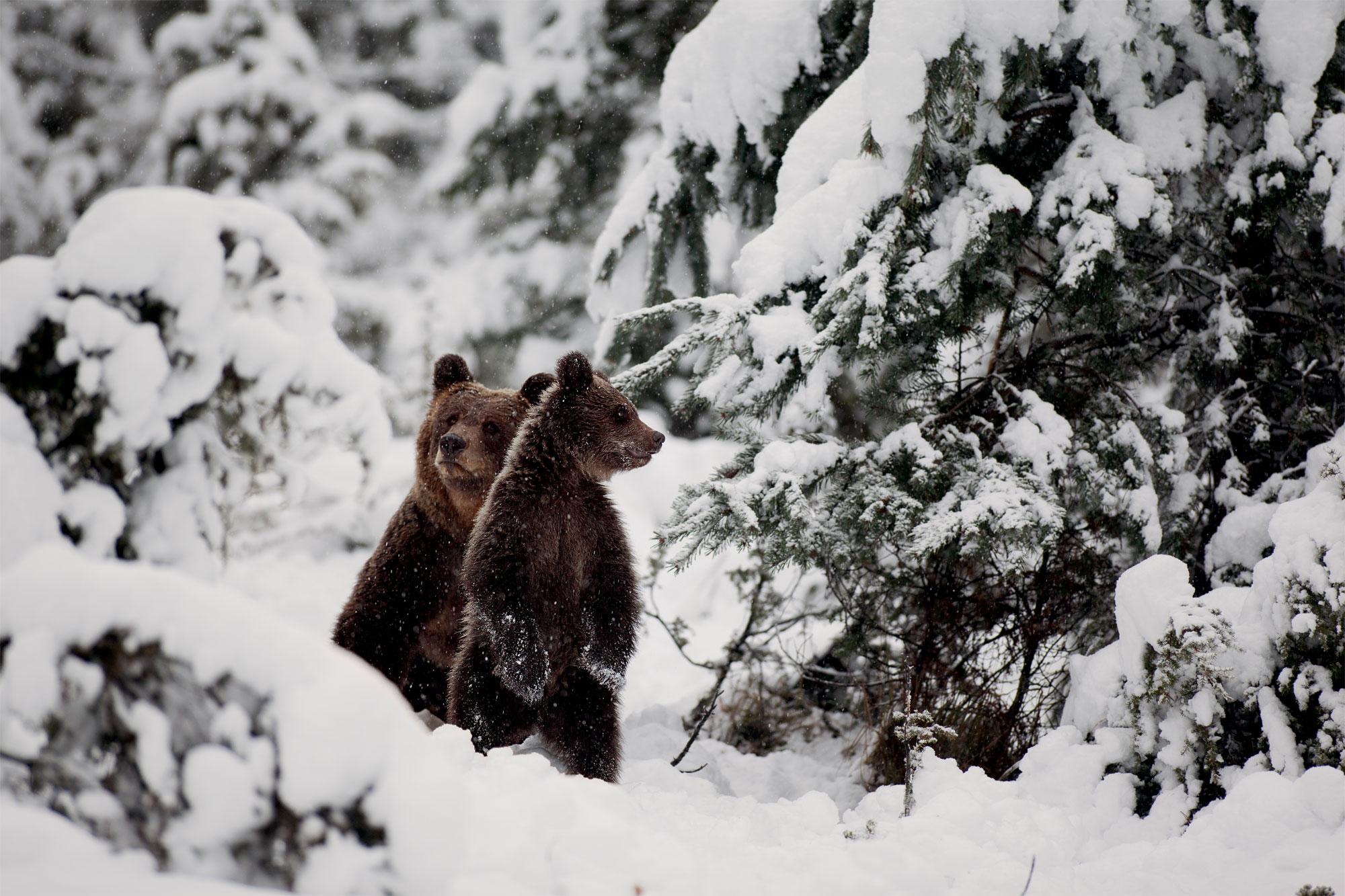 Jacques Ioset photographie l'ours sans le déranger