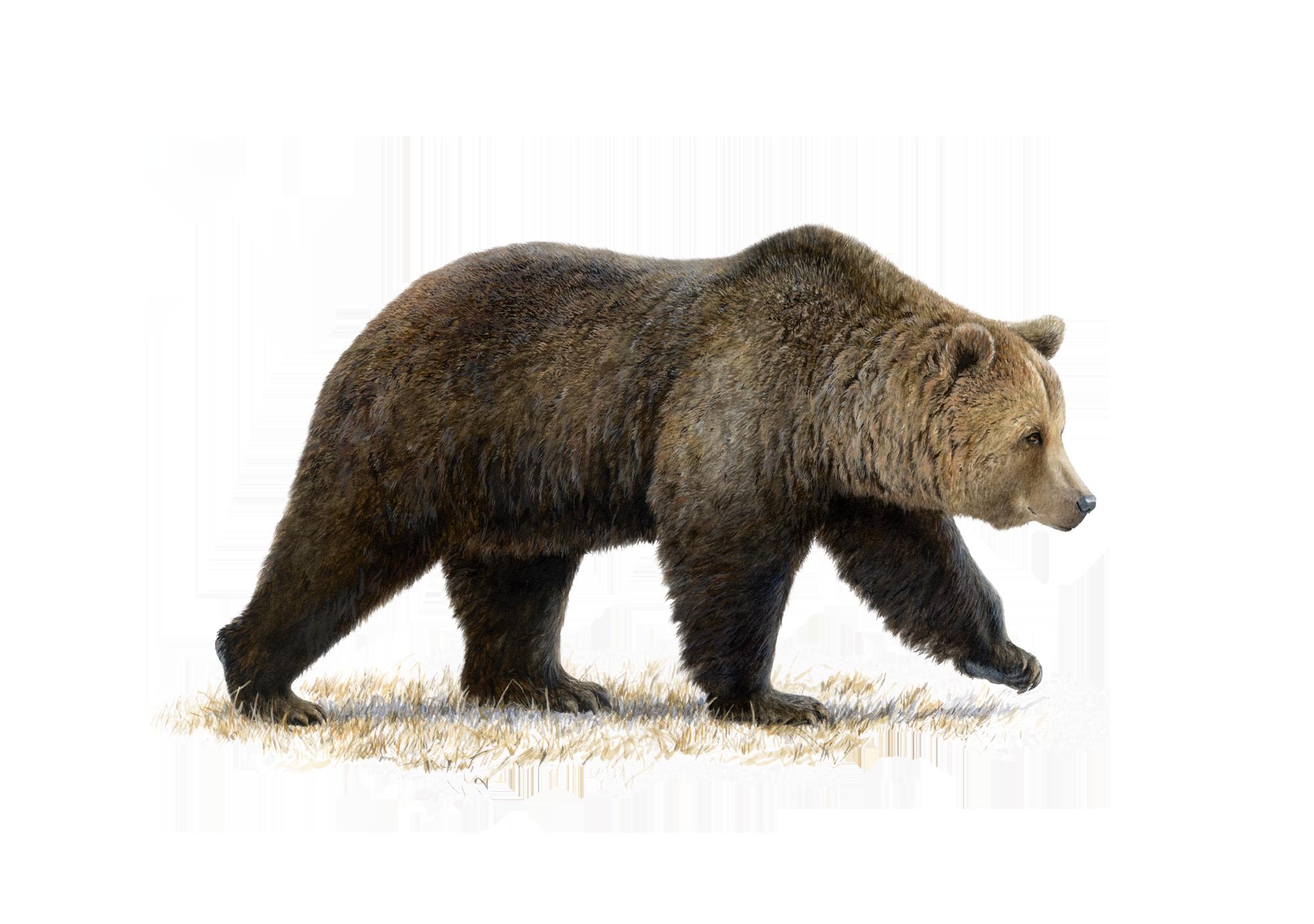 Dessin ultra réaliste d'ours