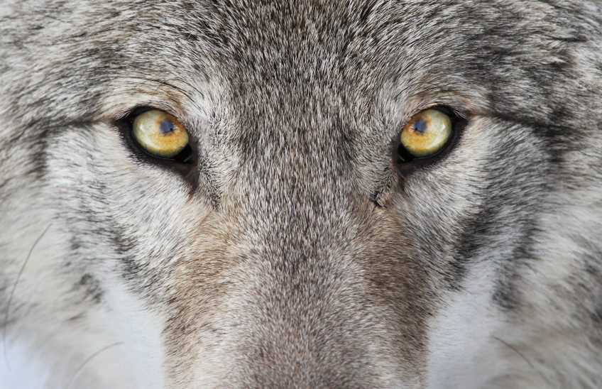 Au retour des loups