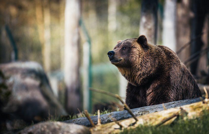 5 idées reçues sur l'ours brun