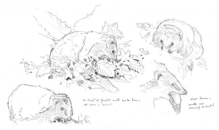 Une année avec des hérissons au jardin, un feuilleton en dessin