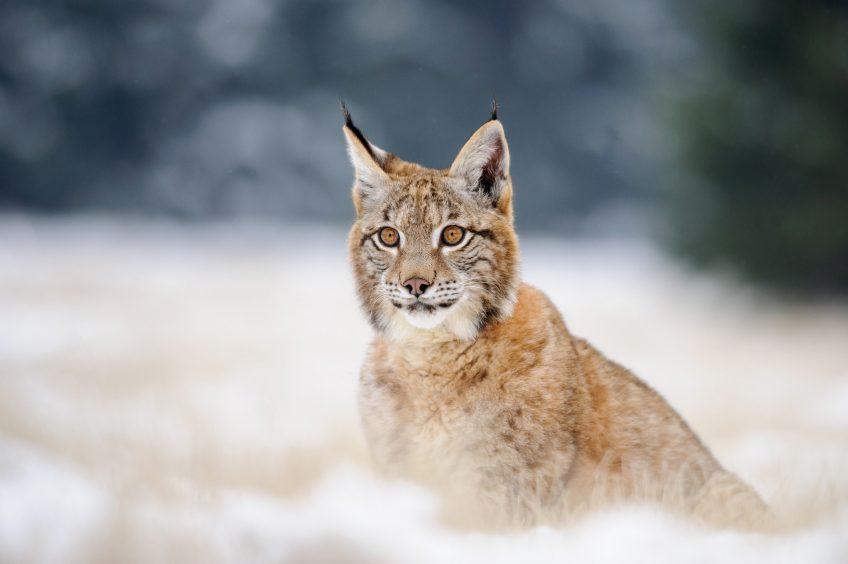 Comment photographier le lynx ?