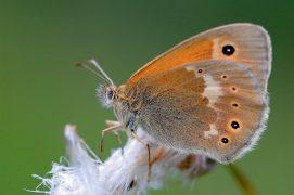 Le fadet des tourbières est un papillon rare qui recherche les zones humides acides riches en linaigrettes. / © Michel Rauch / Biosphoto