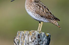 Le bassin du Drugeon a une importance reconnue pour la nidification de la bécassine des marais. / © Saverio Gatto / Biosphoto