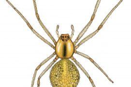 Théridion ovoïde (Enoplognatha ovata) / © Gaëtan du Chatenet