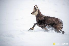 Jeune chamois dans la poudreuse / © Olivier Born