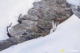 Lièvre variable au gîte sous un rocher / © Olivier Born