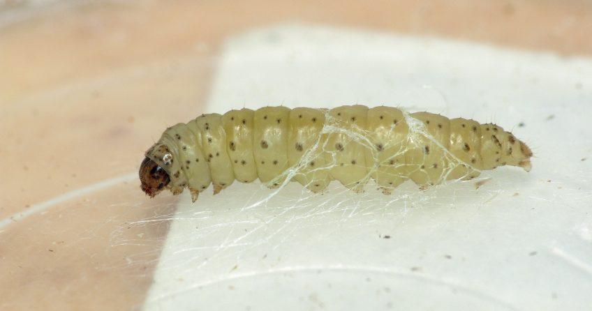 Chenille teigne du poireau (Acrolepiopsis assectella)