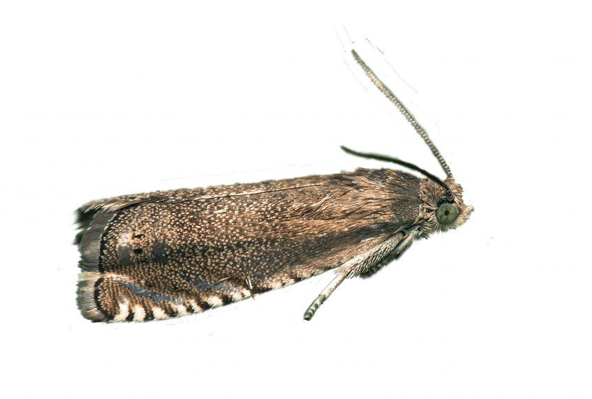 Tordeuse du pois (Cydia nigricana)