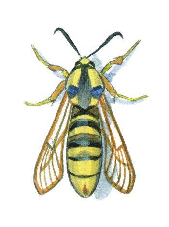 Sésie frelon (Sesia apiformis)