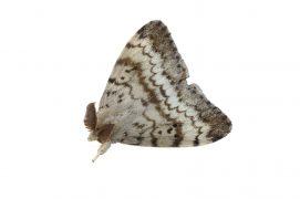 Bombyx disparate (Lymantria dispar) / © Daniel Morel