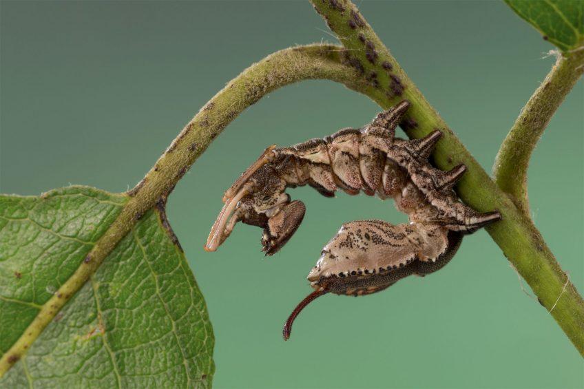 Chenille Bombyx du hêtre (Stauropus fagi)