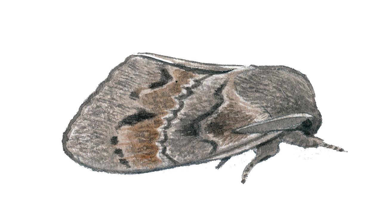 Bombyx du pin (Dendrolimus pini)
