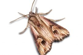 Camomillière (Actinotia polyodon) / © Jean-Philippe Paul