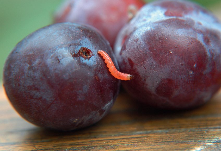 Chenille Carpocapse des prunes (Grapholita funebrana)