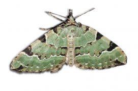 Cidarie verdâtre (Colostygia pectinataria) / © Jean-Philippe Paul