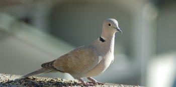 collared-dove-4719123