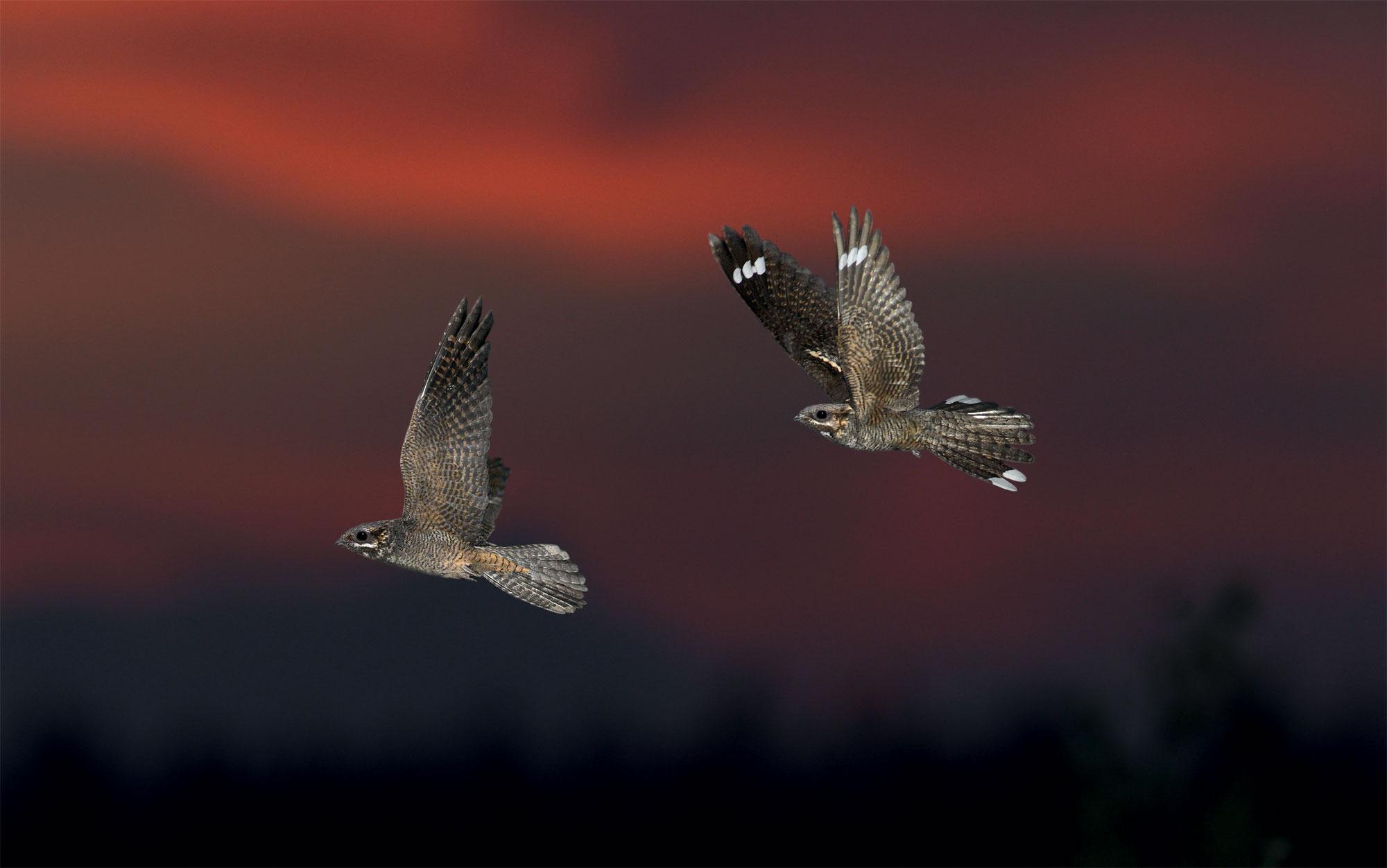 L'engoulevent, un oiseau friand de papillons de nuit
