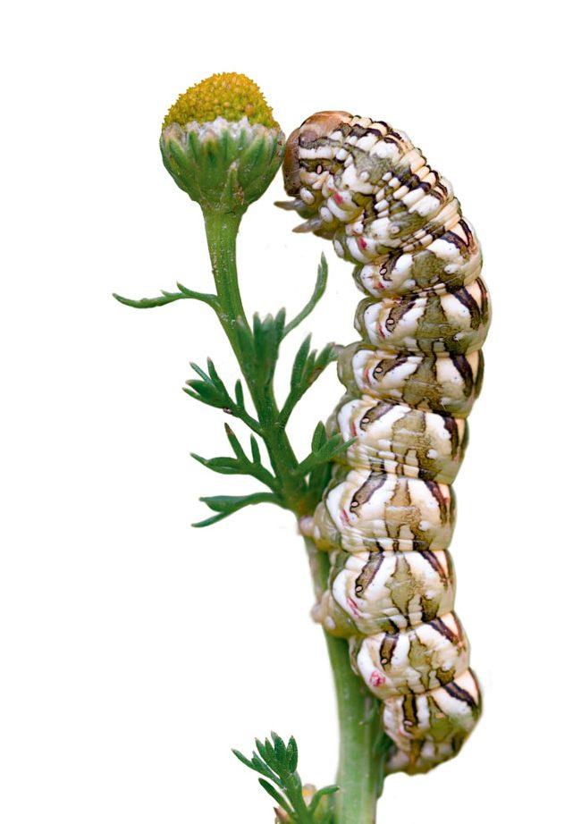 Chenille Cucullie de la camomille (Cucullia chamomillae)