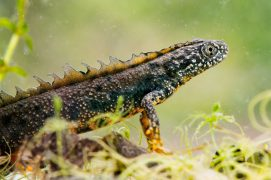Dans le camp militaire de Chambaran, on peut observer des espèces rares comme le triton crêté ou la libellule cordulie à deux taches. / © Mathieu Juton - cen isère