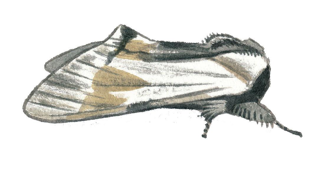Dragon (Harpyia milhauseri)