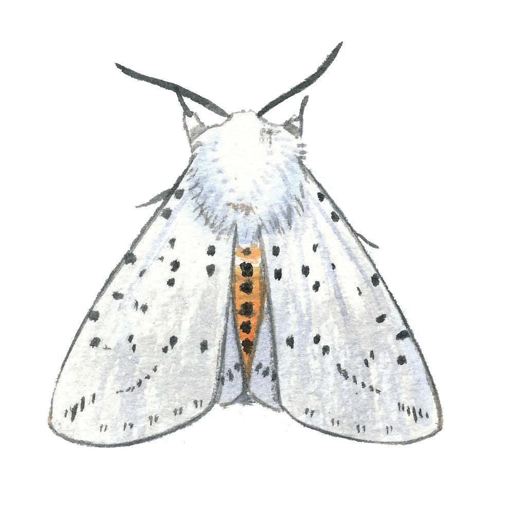Ecaille tigrée (Spilosoma lubricipeda)