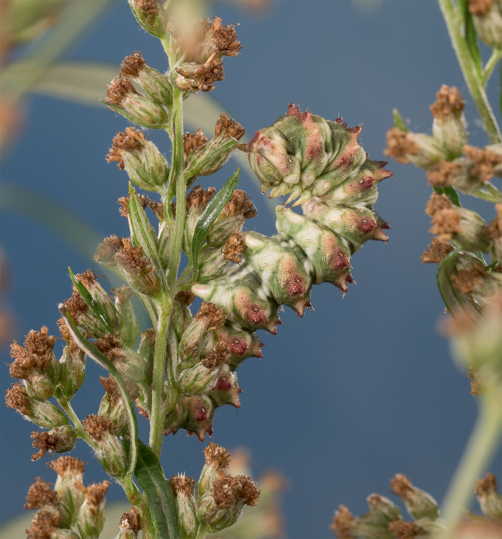 Chenille Emeraude (Thetidia smaragdaria)