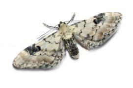 Eupithécie des centaurées (Eupithecia centaureata)
