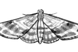 Eupithécie printanière (Eupithecia abbreviata) / © Sylvain Leparoux