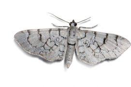 Eupithécie veinée (Eupithecia venosata) / © Jean-Philippe Paul