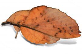 Feuille-morte du peuplier (Gastropacha populifolia) / © Jean-Philippe Paul