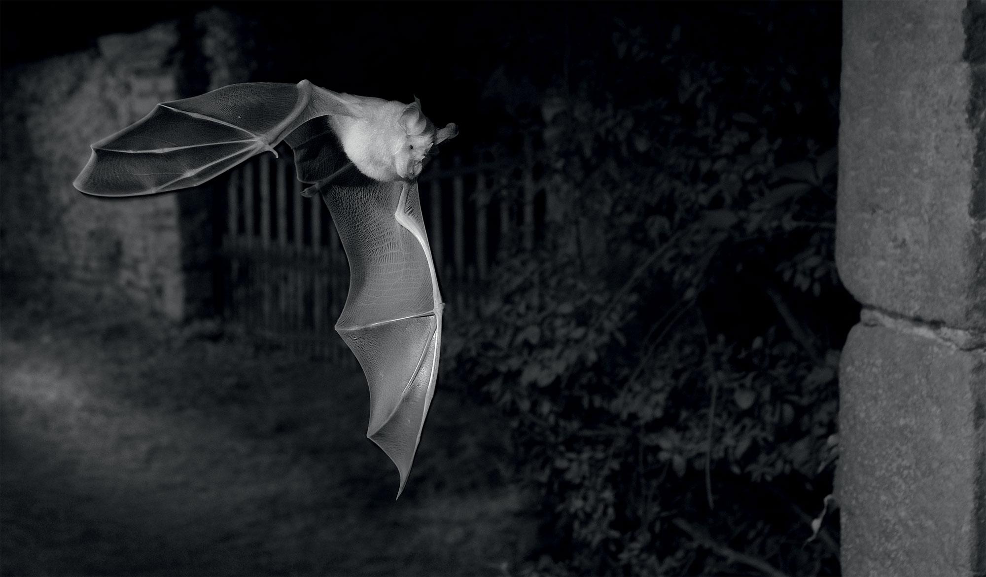 Grand rhinolophe photographié de nuit en infrarouge