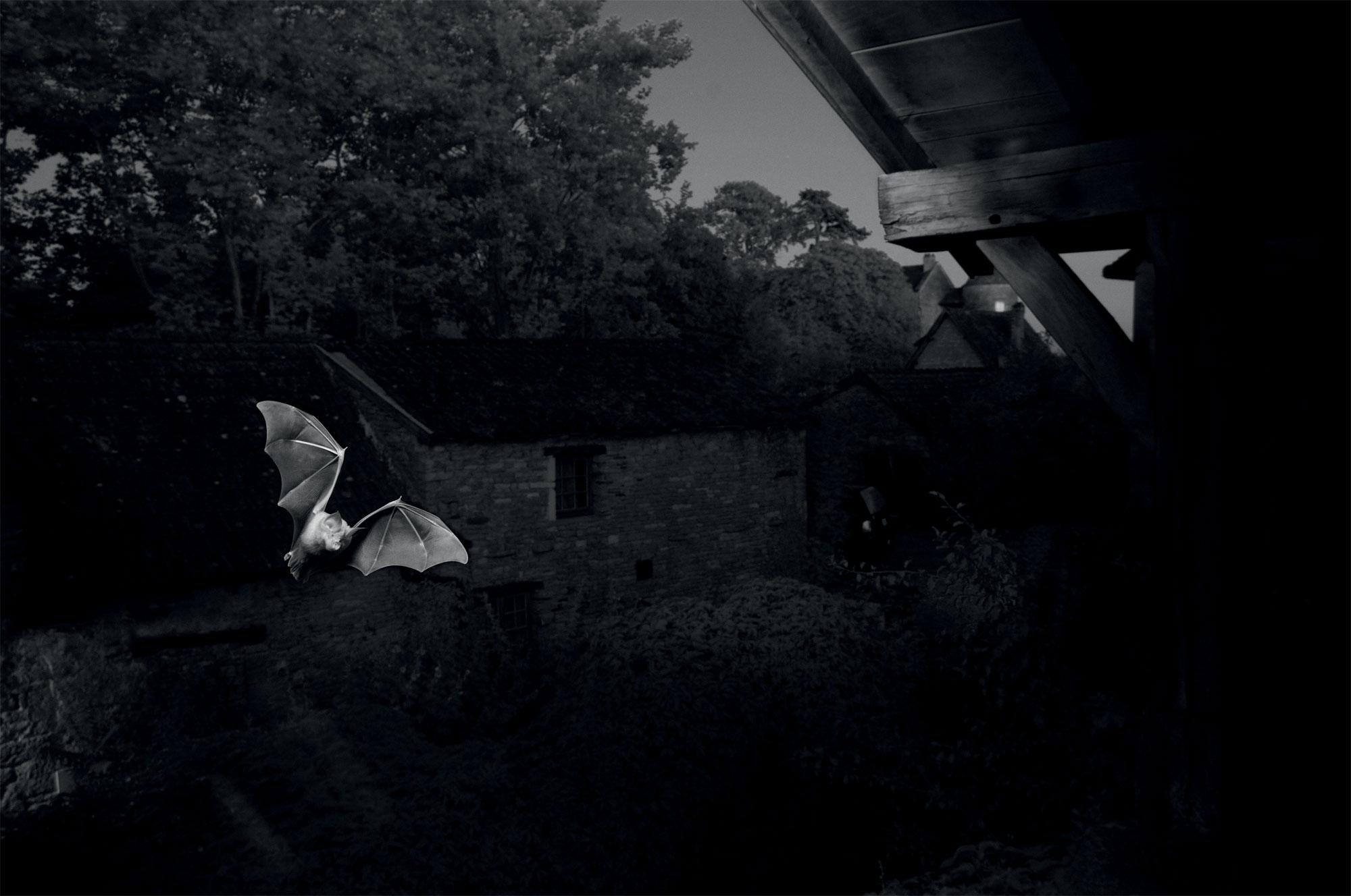 Des Grands rhinolophes photographiées de nuit en infrarouge