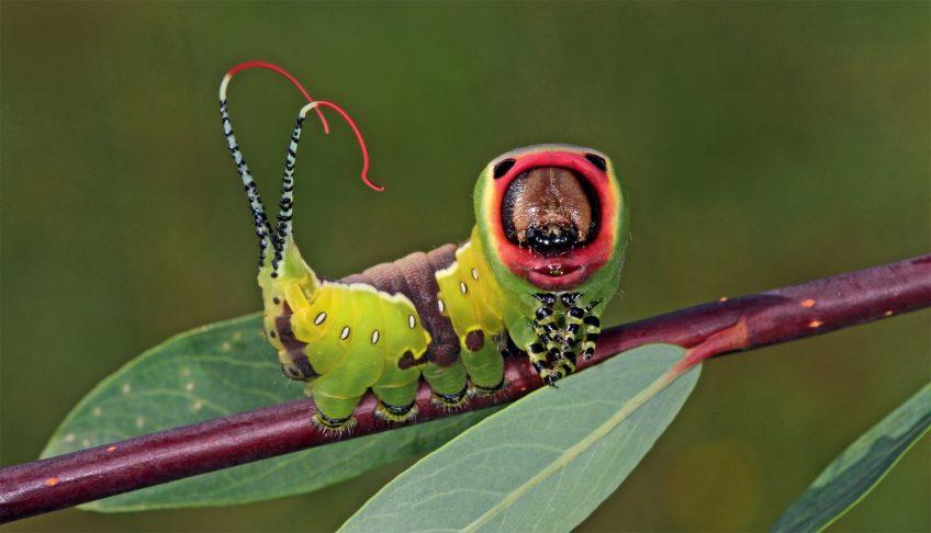 Chenille Grande queue fourchue (Cerura vinula)