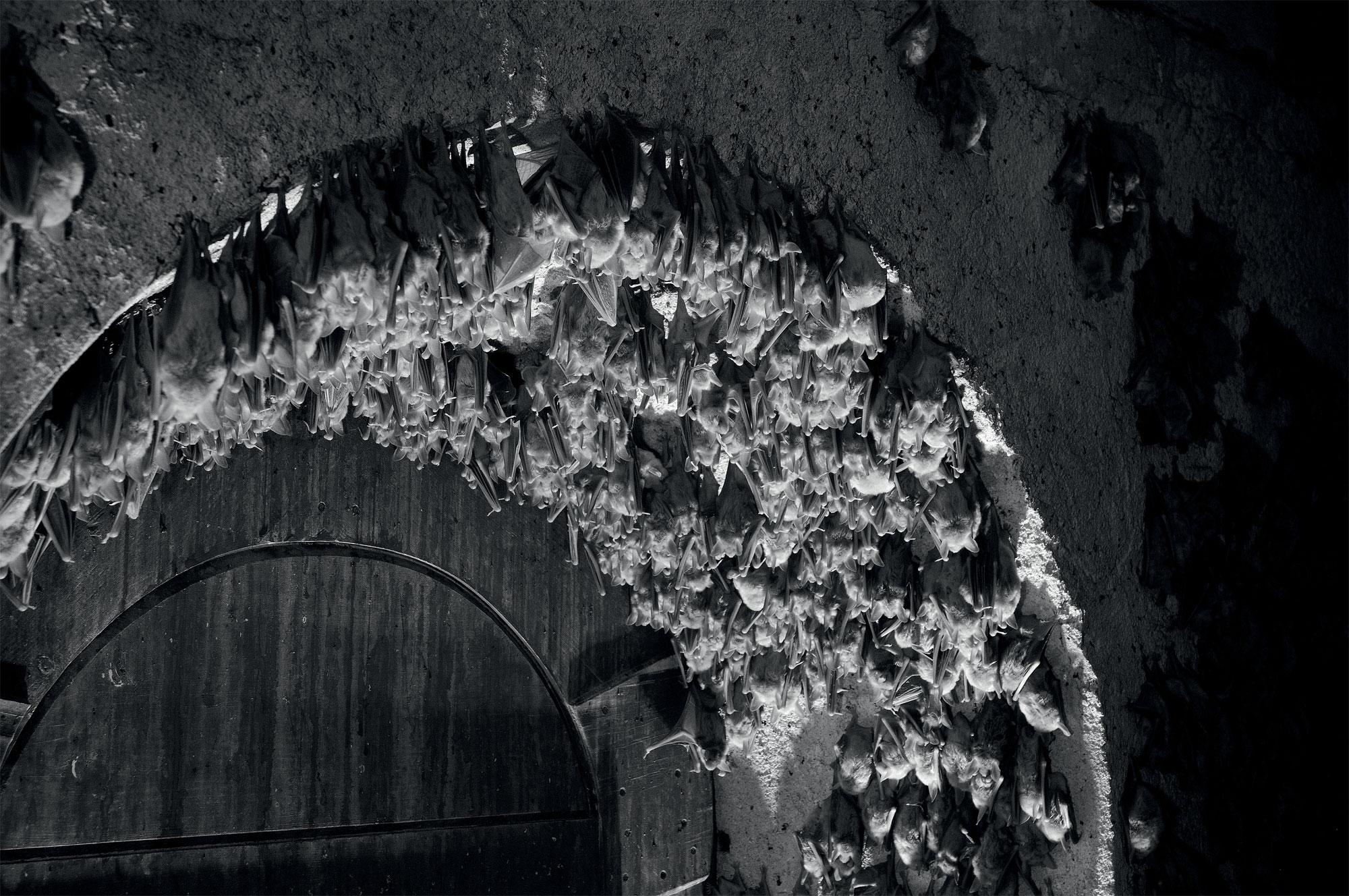 Des chauves-souris photographiées de nuit en infrarouge