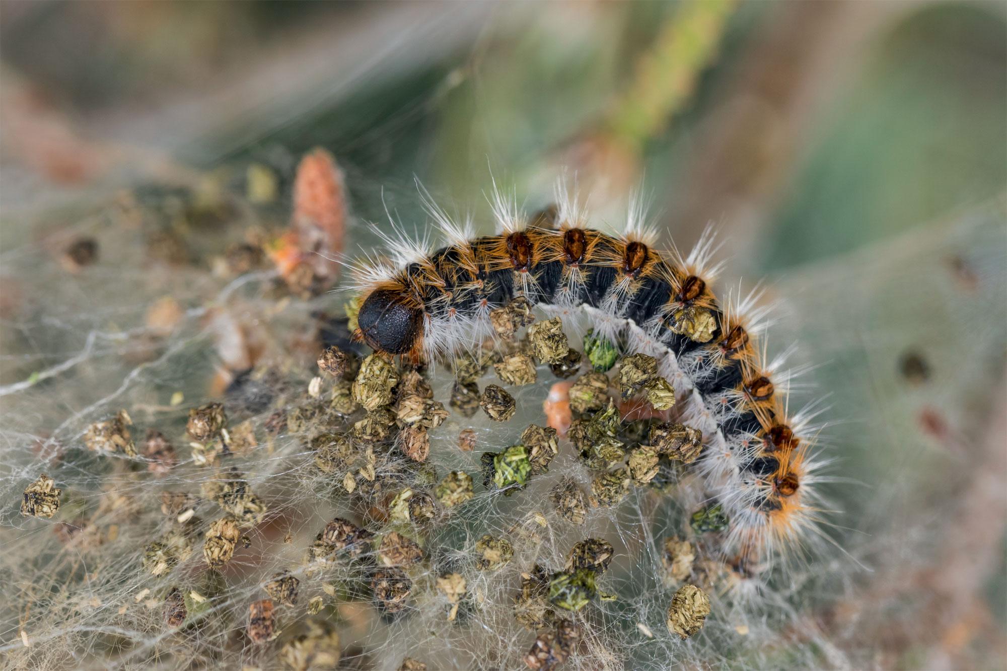 Chenille Inégale (Parascotia fuliginaria)