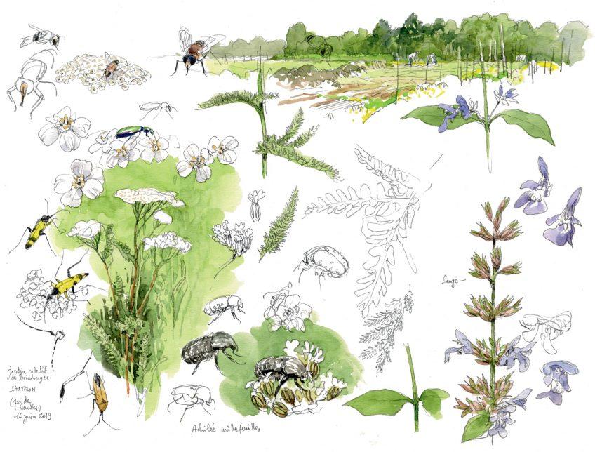 Le goût des plantes aromatiques au jardin en dessin
