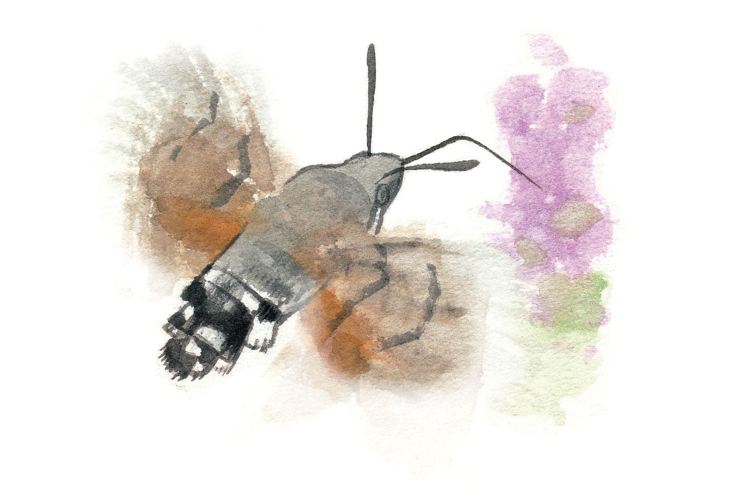 Moro-sphinx (Macroglossum stellatarum)