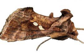 Noctuelle de l'artichaut (Chrysodeixis chalcites) / © Daniel Morel