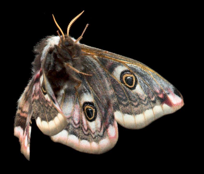 Petit paon de nuit femelle (Saturnia pavonia)