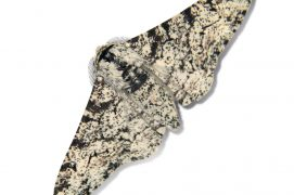 Phalène du bouleau (Biston betularia) / © Jean-Philippe Paul