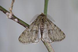Phalène velue (Phigalia pilosaria) / © Frank Hecker