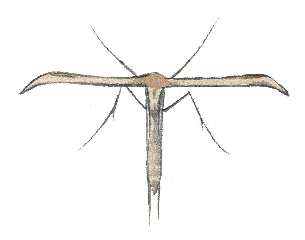 Ptérophore commun (Emmelina monodactyla)